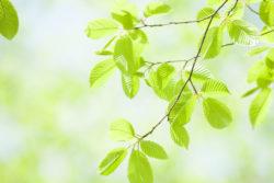 Buche, klimafit, Baum der Zukunft