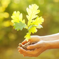 Eiche, jung, klimafit, Baum der Zukunft