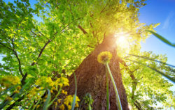 LINDE im Sonnenschein, klimafit, Baum der Zukunft