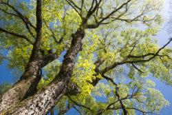 Ulme klimafitter Baum der Zukunft www.gesundheitsjournalistin.ch