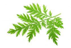 Artemisia Annua und Coronavirus