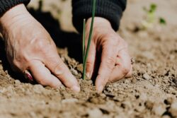 Bauer pflanzt pestizidfreie Getreidepflanze