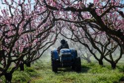 Bauer besprüht Obstbäume mit Pestizid