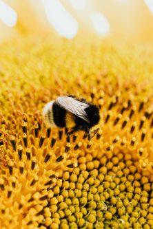 Biene sitzt auf Sonnenblume Foto