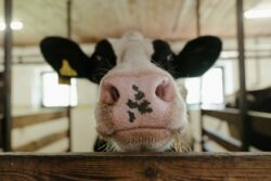 Kuh im Stall, ökologische Tierhaltung