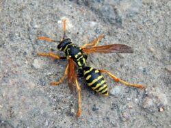 Schlupfwespe auf dem Boden, Sinnbild Wespeersetzt chemische Pestizide